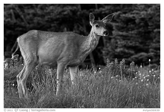 Deer in meadow with lupine. Olympic National Park (black and white)