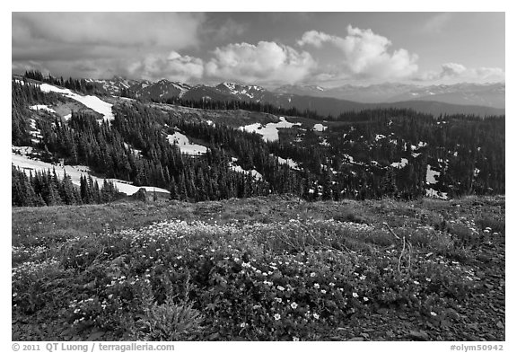 Wildflowers, hills, and Olympic mountains. Olympic National Park (black and white)