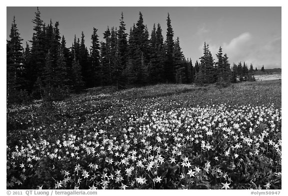 Avalanche lilies in meadow. Olympic National Park (black and white)
