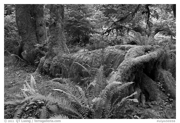 Tree falling on fallen tree, Hoh rainforest. Olympic National Park (black and white)