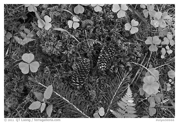 Forest floor, Hoh rain forest. Olympic National Park (black and white)