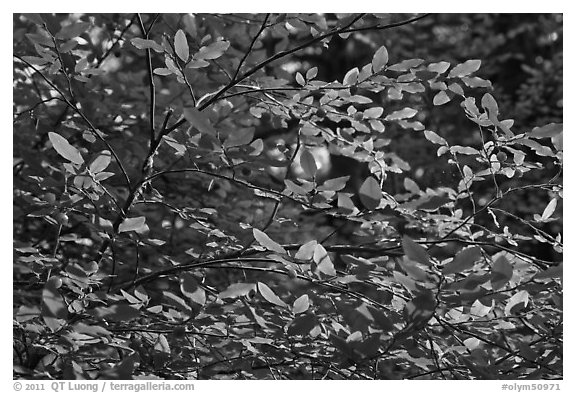 Branches and berries, Quinault rain forest. Olympic National Park (black and white)