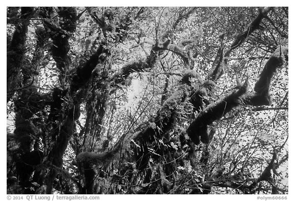 Looking up moss-covered big leaf maple tree in autumn. Olympic National Park (black and white)