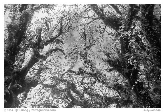 Looking up moss-covered branches and yellow leaves of big leaf maple trees. Olympic National Park (black and white)