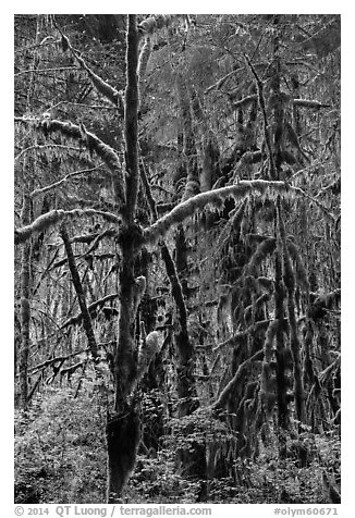 Rain forest, Maple Glades, Quinault. Olympic National Park (black and white)