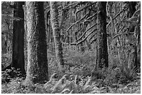 Ferns and moss-covered trees, Maple Glades. Olympic National Park ( black and white)
