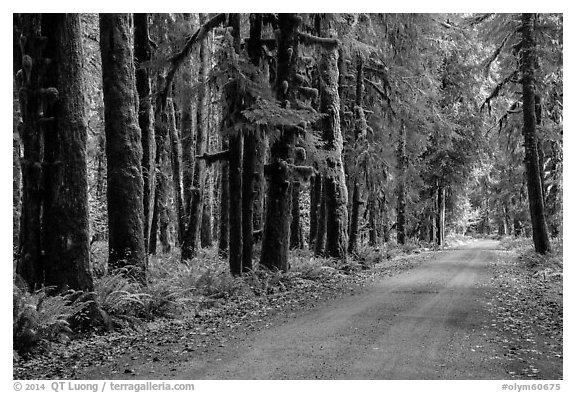 Unpaved road, Lake Quinault North Shore. Olympic National Park (black and white)