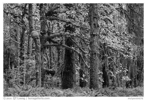 Bigleaf maple and rainforest in autum, Lake Quinault North Shore. Olympic National Park (black and white)