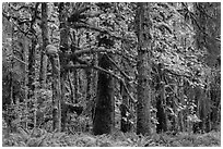 Bigleaf maple and rainforest in autum, Lake Quinault North Shore. Olympic National Park ( black and white)
