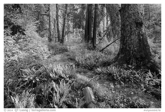 Irely Lake Trail in autumn, North Fork. Olympic National Park (black and white)