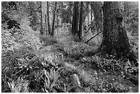 Irely Lake Trail in autumn, North Fork. Olympic National Park ( black and white)