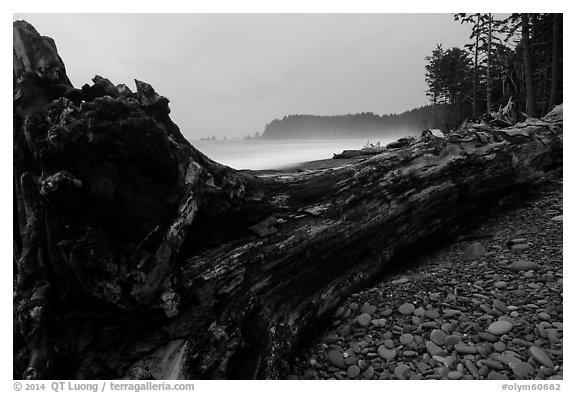 Driftwood tree at dusk, Rialto Beach. Olympic National Park (black and white)