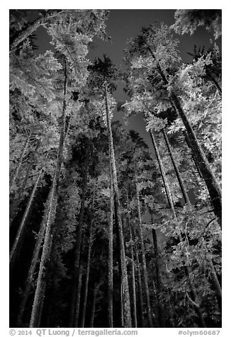 Tall coastal forest at night, Mora. Olympic National Park (black and white)