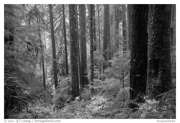 Douglas fir and hemlock forest, Sol Duc valley. Olympic National Park (black and white)