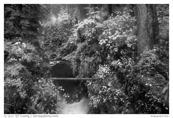 Narrow gorge of the Soleduc river in autumn. Olympic National Park (black and white)