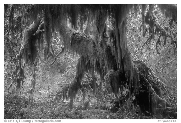 Club moss draping big leaf maple tree, Hall of Mosses. Olympic National Park (black and white)