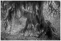 Club moss draping big leaf maple tree, Hall of Mosses. Olympic National Park ( black and white)