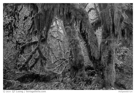 Hanging Oregon selaginella mosses over maple trees, Hall of Mosses. Olympic National Park (black and white)