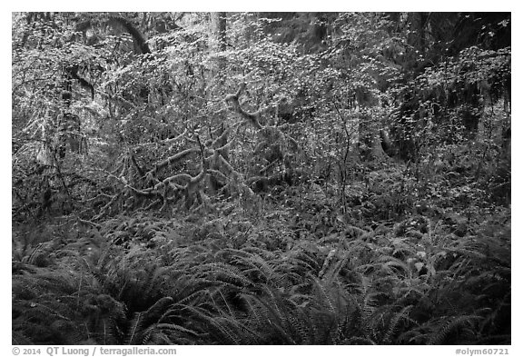 Ferns and maples in autumn, Hoh Rain forest. Olympic National Park (black and white)