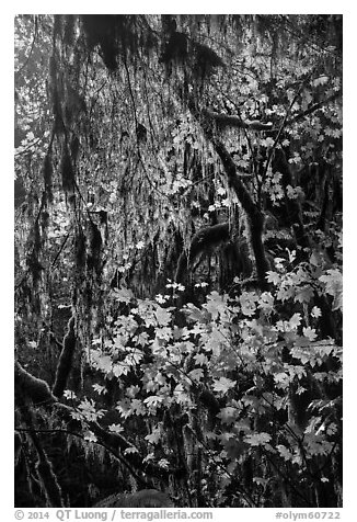 Hanging mosses and maple leaves, Hoh Rain forest. Olympic National Park (black and white)