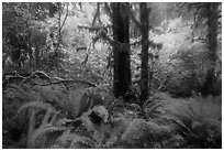 Autumn foliage in the rain, Hoh Rain Forest. Olympic National Park ( black and white)