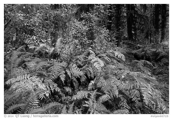 Ferns in autumn, Hoh Rain Forest. Olympic National Park (black and white)