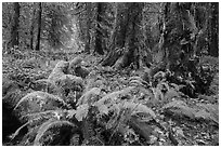 Autumn in Hoh Rain Forest. Olympic National Park ( black and white)