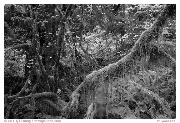 Branch with hanging mosses and autumn colors in Hoh Rainforest. Olympic National Park (black and white)