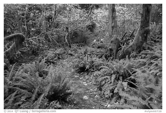 Trail in autumn Hoh Rain Forest. Olympic National Park (black and white)