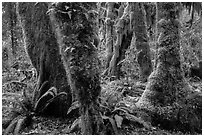 Ferns and maples covered by selaginella moss in autumn, Hall of Mosses. Olympic National Park ( black and white)
