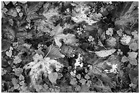Forest floor with fallen leaves and clover, Quinault. Olympic National Park ( black and white)