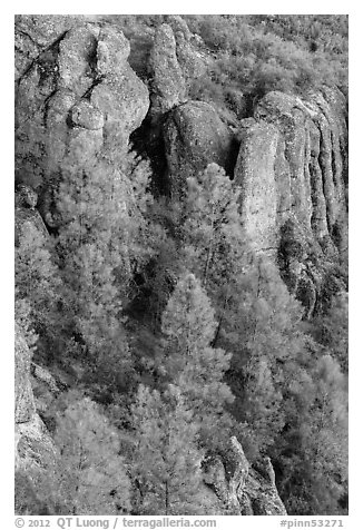 Pine trees and igneous rocks. Pinnacles National Park (black and white)