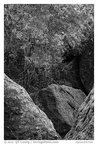 Toyon tree with red berries, Bear Gulch. Pinnacles National Park (black and white)
