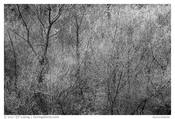 Bare branches and new leaves in spring. Pinnacles National Park (black and white)