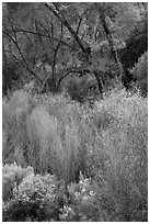 Riparian vegetation in early spring. Pinnacles National Park, California, USA. (black and white)