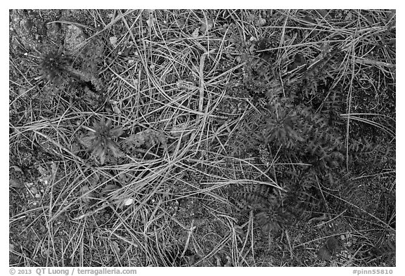 Ground close-up with pine needles and Indian Warriors. Pinnacles National Park (black and white)