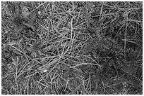 Ground close-up with pine needles and Indian Warriors. Pinnacles National Park, California, USA. (black and white)