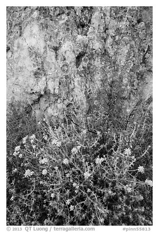 Yellow flowers and rock with lichen. Pinnacles National Park (black and white)