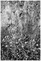 Yellow flowers and rock with lichen. Pinnacles National Park, California, USA. (black and white)