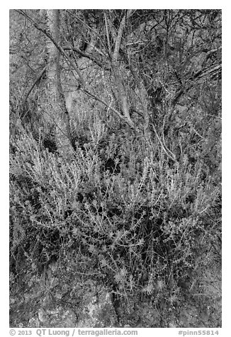 Orange flowers, trees, and cliff. Pinnacles National Park (black and white)