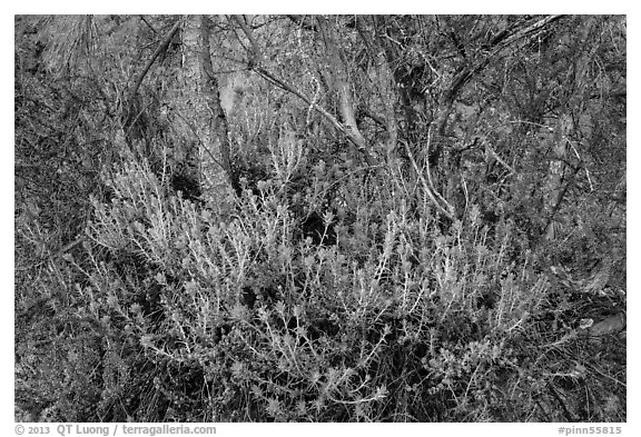 Orange flowers, branches, and cliff. Pinnacles National Park (black and white)