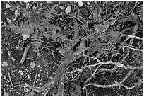 Ground close-up with branches and Indian Warriors. Pinnacles National Park, California, USA. (black and white)