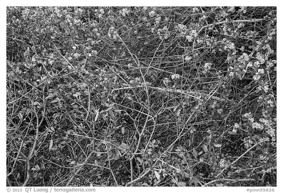 Dried autumn leaves and Manzanita spring blooms. Pinnacles National Park (black and white)