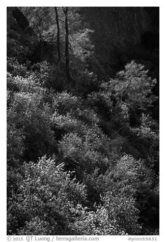 Slope with blooms in spring. Pinnacles National Park (black and white)