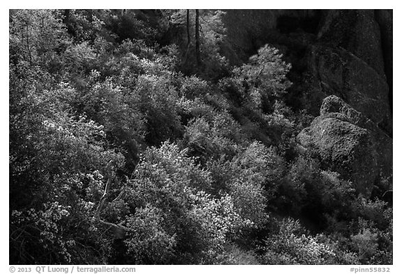 Slope with blooming shrubs in spring. Pinnacles National Park (black and white)