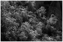 Slope with blooming shrubs in spring. Pinnacles National Park, California, USA. (black and white)