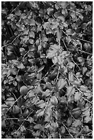 Close-up of shiny leaves. Pinnacles National Park, California, USA. (black and white)