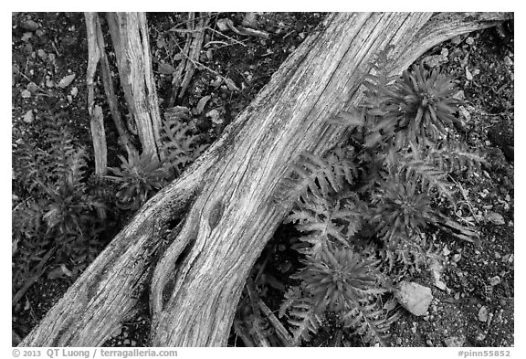 Ground close-up with fallen branch and Indian Warriors. Pinnacles National Park (black and white)