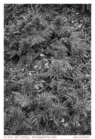 Patch of Indian Warriors (Pedicularis Dens floras). Pinnacles National Park (black and white)