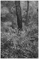 Forest with shrubs in bloom. Pinnacles National Park, California, USA. (black and white)